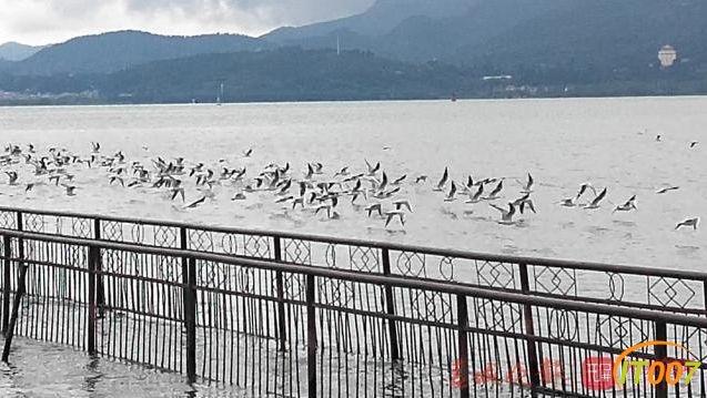 红嘴鸥先头部队抵达滇池迎客,在海埂公园就可以看到了-5.jpg
