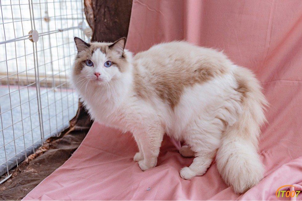 布偶种猫 980一只 4种公 21种母 共25只